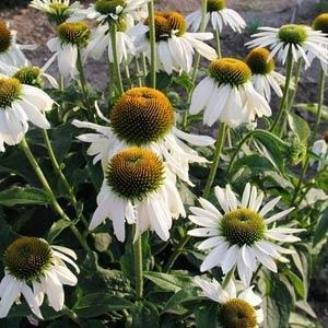 Echinacea purpurea 'White Swan' / Coneflower / Seeds