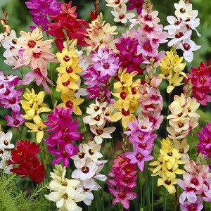 Ixia hybrid 'Mixed' / African Corn Lily / Seeds