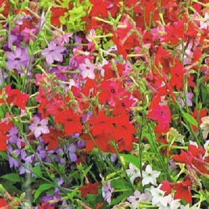 Nicotiana 'Tinkerbell Mixture' F2 Dwarf / Tobacco Plant / Seeds