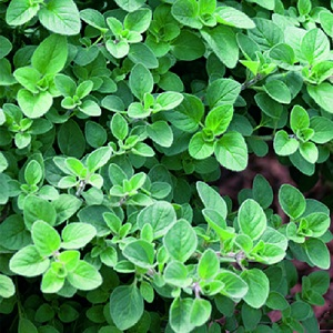 Oregano / Oreganum vulgare / Aromatic Culinary Herb / Seeds