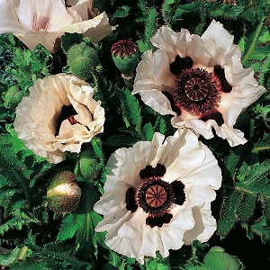 Papaver orientale 'Checkers' / Oriental Poppy / Seeds