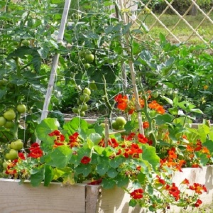 Try companion planting and reduce your use of pesticides