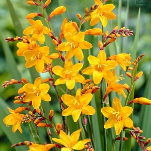 Crocosmia 'Sunglow' / Monbretia / Summer Flowering / Bulbs