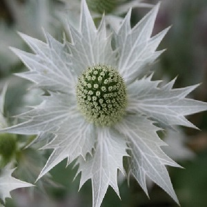 Eryngium giganteum 'Miss Wilmott's Ghost' / Giant Sea Holly / Seeds