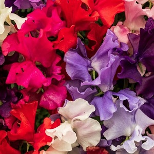 Sweet Pea 'Spencer Extra Mixed' / Lathyrus odoratus / Scented Climber / Seeds