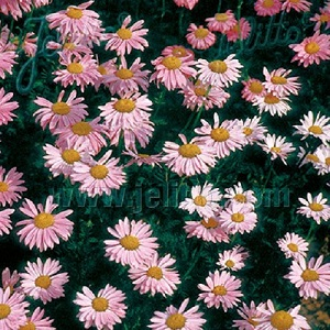 Tanacetum or Pyrethrum coccineum 'Robinson's Rose' / Painted Daisy / Seeds