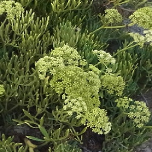 Crithmum maritimum / Rock Samphire / Edible Forage Plant / Seeds