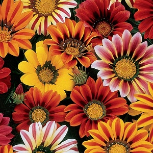 Gazania rigens 'Sunshine Mixed' / Half hardy annual / Seeds