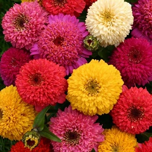 Zinnia elegans 'Candy Mix' / Seeds