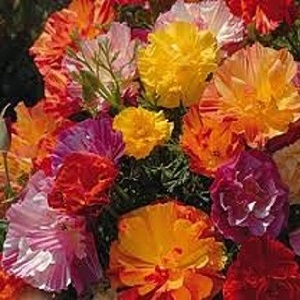 Eschscholzia californica 'Jelly Beans' / Californian Poppy / Seeds