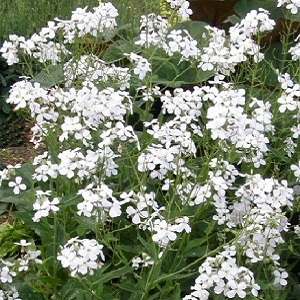 Hesperis matronalis 'Alba' / White Sweet Rocket / Seeds