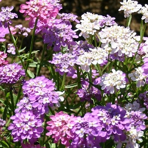 Iberis umbellata 'Fairy Mix'/  Candytuft / Hardy Annual / Seeds