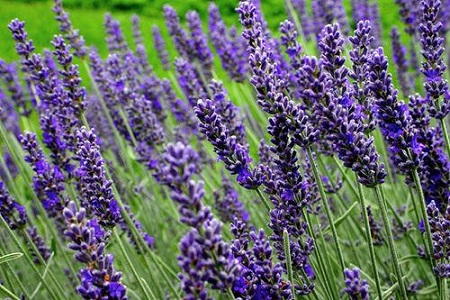 Lavender 'Munstead' / Lavandula angustifolia / Dwarf English Lavender / Seeds