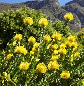 Leucospermum cordifolium 'Yellow Bird' / Nodding Pincushion / Seeds