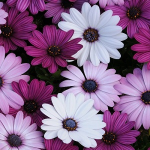Osteospermum ecklonis 'Mixed' / Cape Daisy / Seeds