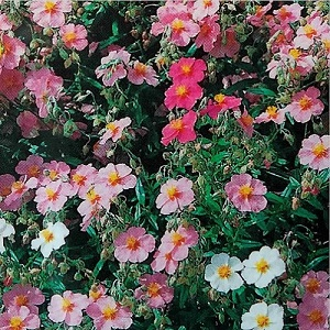Helianthemum 'Mutabile Mixture' / Rock Rose / Seeds