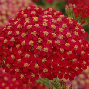 Achillea millefolium Rubra / Red Yarrow / Seeds