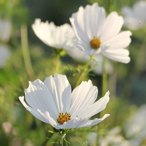 Cosmos bipinnatus 'Purity' / Seeds