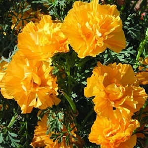 Eschscholzia californica 'Gold Swirl' / Californian Poppy / Seeds