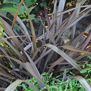 Phormium cookianum 'Purpureum' / New Zealand Mountain Flax / Seeds