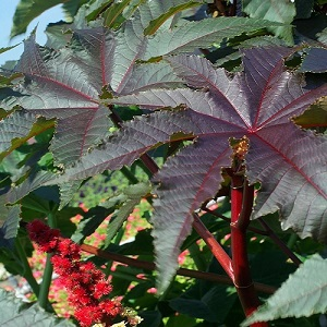 Ricinus communis 'Gibsonii' / Compact Castor Bean Plant / Seeds