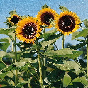 Helianthus annuus 'The Sun' / Sunflower / Border Plant & Cut Flower / Seeds