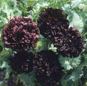Papaver-somniferum-Peony-Black-300 Red Poppy Houseplants on flowers red, berries red, pots red, mums red, nature red, design red, animals red, ornamental grasses red, cactus red, peppers red, orchids red,