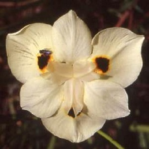 Dietes bicolor / Peacock Flower / Seeds