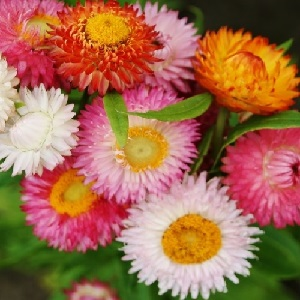 Helichrysum or Xerochrysum bracteatum 'Swiss Giants Mix' / Everlastings / Seeds
