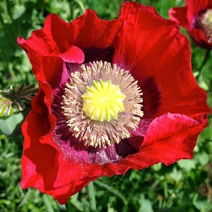 Papaver somniferum / Opium Poppy / Seeds