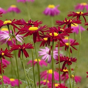 Tanacetum or Pyrethrum coccineum 'Robinson's Red' / Painted Daisy / Seeds