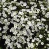 Arenaria montana 'Avalanche' / Mountain Daisy / Mountain Sandwort / Seeds