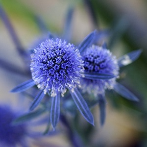 Eryngium planum / Sea Holly / Seeds