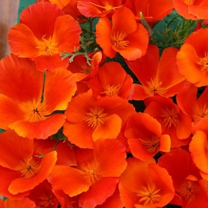 Eschscholzia californica 'Copper Pot' / Californian Poppy / Seeds