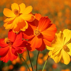 Cosmos sulphureus 'Bright Lights / Seeds
