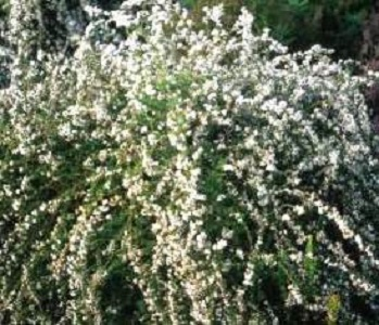 Eriocephalus africanus/ African Rosemary or Cape Snow Bush / Seeds