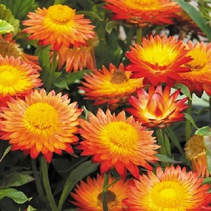 Helichrysum or Xerochrysum bracteatum 'Orange' / Everlastings / Seeds