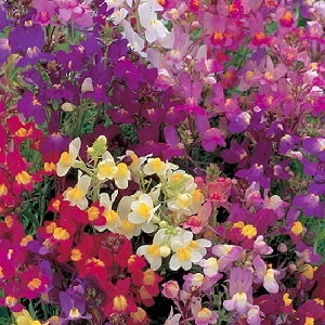Linaria maroccana 'Fairy Bouquet' / Toadflax / Seeds