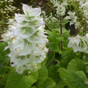 Salvia sclarea 'Vatican White' / Clary Sage / Seeds