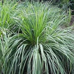 Cymbopogon citratus / West Indian Lemon Grass or Citronella Grass / Seeds
