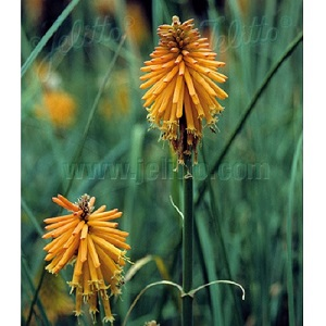 Kniphofia galpinii / Dwarf Red Hot Poker / Seeds