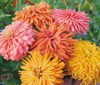 Zinnia elegans 'Cactus Flowered Mix' / Seeds