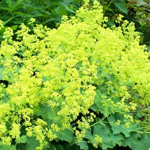 Alchemilla mollis / Lady's Mantle / Hardy Perennial /  Seeds